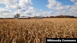 인디애나주에 위치한 옥수수 농장.