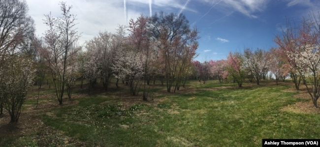 The Arboretum's research fields, where researchers plant cherry tree hybrids.