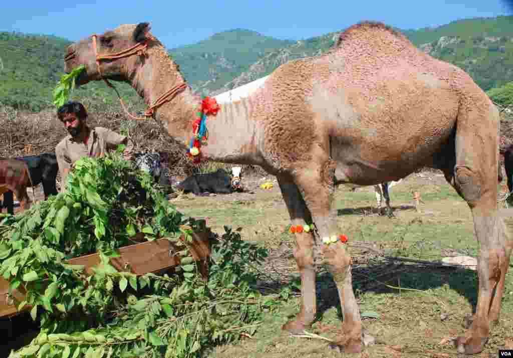 پاکستان میں عید الضحیٰ کے لیے ملک کے تقریباً سبھی علاقوں میں جانوروں کی منڈیاں لگتی ہیں۔