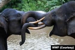 Gajah Sumatera di Taman Nasional Tesso Nilo, Riau. (Foto: WWF Indonesia)