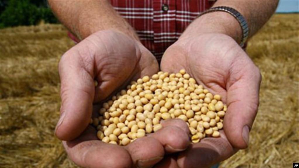 美國明尼蘇達州豆農手捧豆種