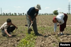 Uzbek farmers work at a cotton field in the village of Chinaz, some 80 km (50 miles) west of capital Tashkent. Uzbekistan is the world's third-biggest cotton exporter.