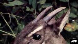 Saola thường bị săn bắt trái phép để lấy sừng và hiện tại có thể chỉ còn vài chục con còn sống sót