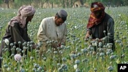 En esta zona se cultiva adormidera, de la que se extrae el opio, informaron las autoridades.