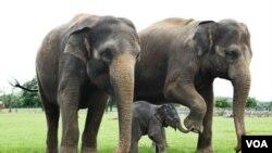 Bayi gajah bersama induknya (Foto: dok). Organisasi International Fund for Animal Welfare menuduh kawanan bersenjata Sudan menghabisi 200 gajah dari Taman Nasional Bouba Ndjida.