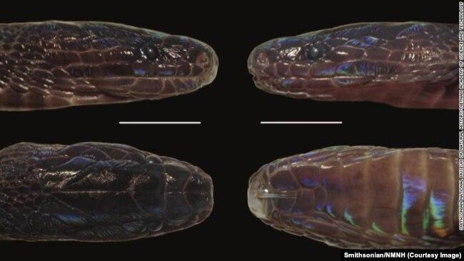 Loài rắn hiếm có vảy lạ được phát hiện vào năm 2019, trong khuôn khổ dự án chung giữa Viện Bảo tàng Smithsonian và Viện Hàn lâm KHCN nhằm khám phá sự đa dạng của hệ sinh vật tại Việt Nam.