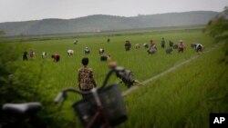 지난 6월 북한 강원도의 논에서 농부들이 일하고 있다. (자료사진)