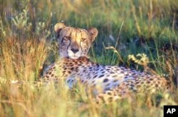 Cheetahs like hiding in long grass