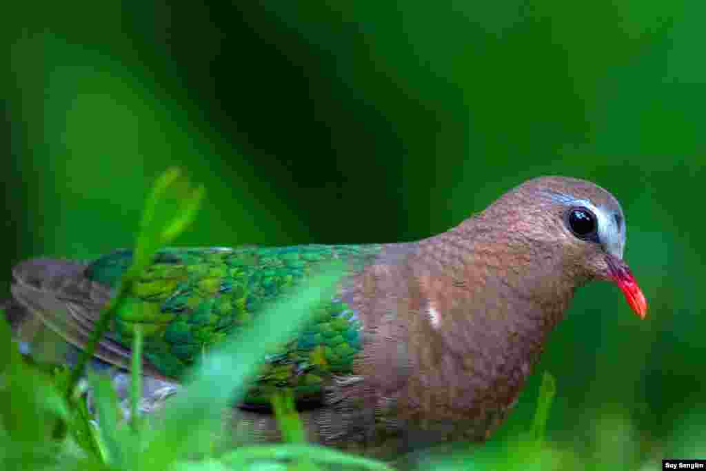 Usually the species of evergreen habitat emerald dove gets so shy. This photo of the bird is from O'ramis Resort in Mondulkiri province where it is not allowed to disturb those birds including the dove. (Photo by Suy Senglim)