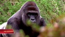 Không truy tố người mẹ có con bị gorilla tấn công