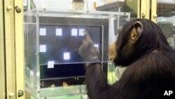 Fin 2011, le NIH a cessé de financer les nouvelles recherches impliquant des chimpanzés