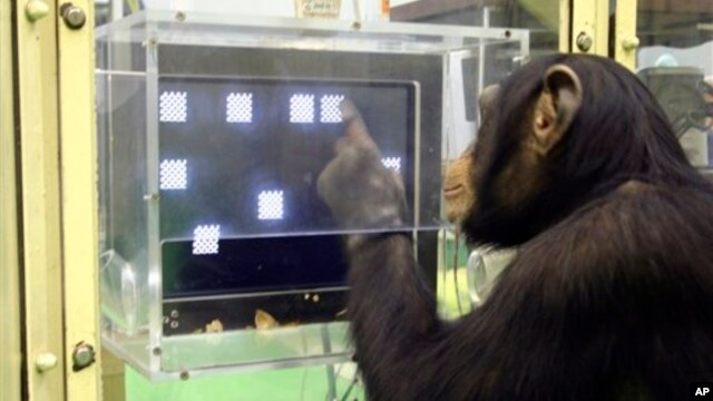 A chimpanzee named Ayumu performs the second stage of a memory test in which he must recall the location on a touch sensitive monitor of numerals that have changed to blank squares, at the Primate Research Institute in Kyoto, Japan, Dec. 13, 2006.