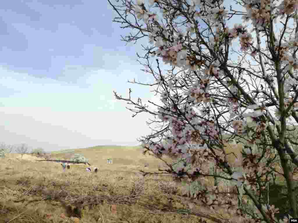 بهار در استان زنجان خرمدره روستای شویر عکس: بابائی (ارسالی شما)