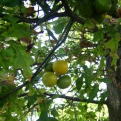 Mark Hoffman's tomato plants growing up into the leaves of an oak tree