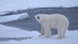 Shkrirja e akujve rrezikon zhdukjen e ariut polar