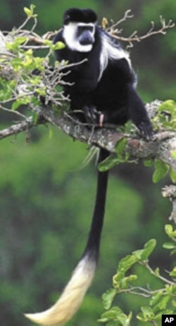 Rising Temperatures Puts Some African Primates at Risk of Extinction, says Study