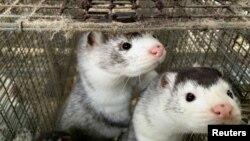 丹麥一個水貂農場養殖的水貂(2020年11月5日)