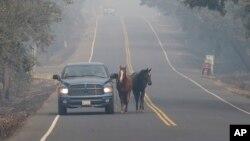 在加州纳帕,皮彼·塔玛亚带着他的两匹马萨米和罗丽逃离凶猛的野火。(2017年10月10日)