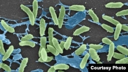 Scanning electron micrograph of the Pseudomonas bacteria, one of several harmless bacteria found to harbor resistance genes identical to those found in disease-causing bacteria, undated (Research Center for Auditory and Vestibular Studies at Washington Un