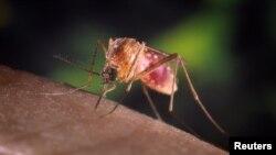 Nyamuk Culex quinquefasciatus yang membawa virus West Nile.