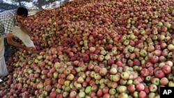 A Kashmiri Muslim man sorts freshly harvested apples at Shopian, south of Srinagar, 05 Oct 2010