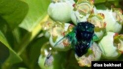 FILE - A mature cicada dries its wings on a blueberry tree in Fairfax, Virginia. (Photo: Diaa Bekheet)