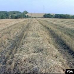 Rusija : Rekordne vrućine... veće cijene hljeba u svijetu?!