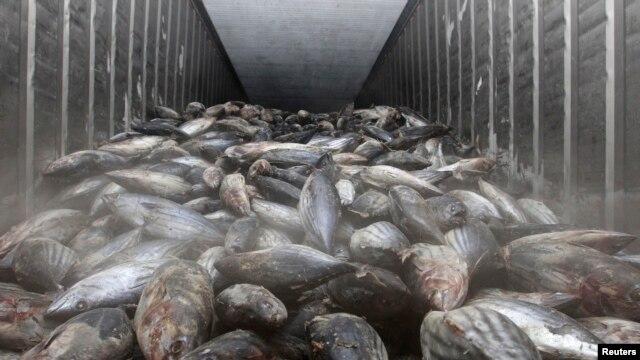Ikan beku yang diimpor dari Jepang terlihat di tempat penyimpanan di