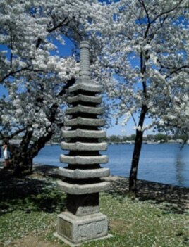 This lantern amid the cherry blossoms is lit to help commemorate the arrival of spring each year.