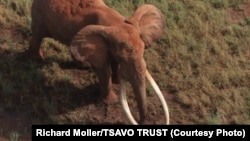 Satao was one of the largest elephants in Africa. He was killed by poachers for his ivory tusks on May 30, 2014.