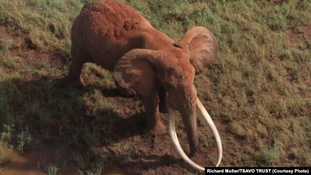 Satao, one of the largest elephants in Africa, was killed by poachers for his ivory tusks late last month.