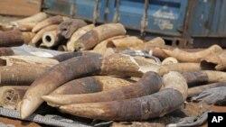 Số lượng ngà voi tịch thu được là 100 tỉ đồng, tương đương với 4 triệu 440 ngàn đô la Mỹ.
