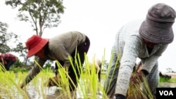 Farmers plant rice in Anlong Veng district in Oddar Meanchey province, Cambodia, Tuesday, August 2, 2016. (Neou Vannarin/VOA Khmer)