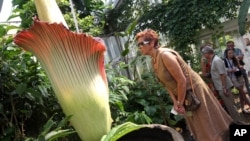 A woman looks at the Amorphophallus Titanum, also known as the Titan Arum or Corpse flower, because of it's smell, one of the world's largest flowers, at the National Botanic Garden in Meise near Brussels, Belgium, July 8, 2013. The rare phallus-like flow