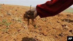 25일 북한 남포의 덕해협동농장에서 가뭄으로 말라버린 옥수수 밭.