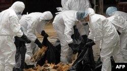 Nhân viên y tế vứt bỏ các con gà chết tại một khu chợ ở Hong Kong, ngày 21/12/2011