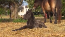 Saving a Rare Greek Horse Breed from Extinction