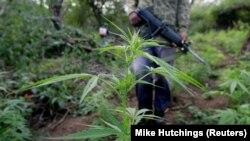La police investit un champ de marijuana lors d'un raid anti-drogue dans les montagnes Lebombo, au nord d'Eswatini (ex-Swaziland), le 24 mai 2005.