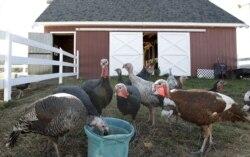 Efforts Mount to Conserve Wild Turkey Breeds