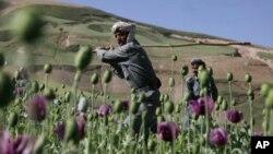 د رسمي شمیرو له مخې افغانستان د نړۍ ۶۵ فیصده اپین تولیدوي.