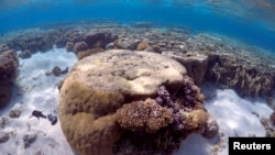 FILE - A large piece of coral can be seen in the lagoon on Lady Elliot Island, on the Great Barrier Reef, northeast from Bundaberg town in Queensland, Australia, June 9, 2015.