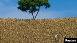FILE - A farmer works in a cornfield in Santa Ana, El Salvador.