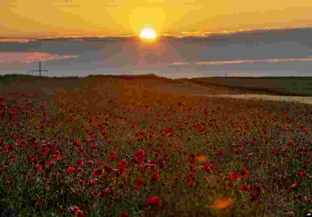 Poppy flowers are in full blossom on a field on the outskirts of Frankfurt, Germany, as the sun rises early morning.