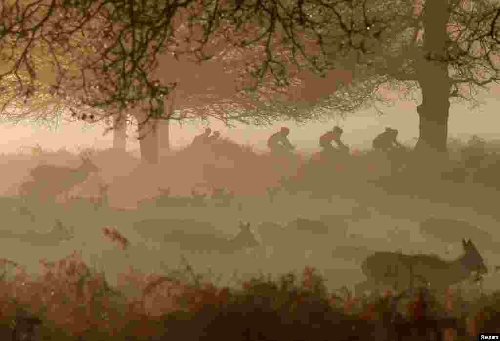 Deer are seen grazing as cyclists ride past in the early morning mist in Richmond Park, west London.