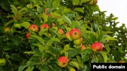 "Apples grow on very short branches called ""spurs."" Apple trees need less pruning than many other kinds of fruit trees."