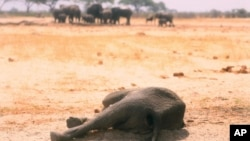 In this photo taken Sunday Nov. 10, 2019, a dead elephant lays in the Hwange National Park, Zimbabwe.