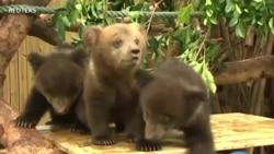 Des oursons bruns s'amusent en public dans le sud de la Chine