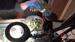 科罗拉多大麻合法化以后
