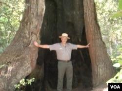 被烧空的红木,生命力坚韧(美国之音国符拍摄)