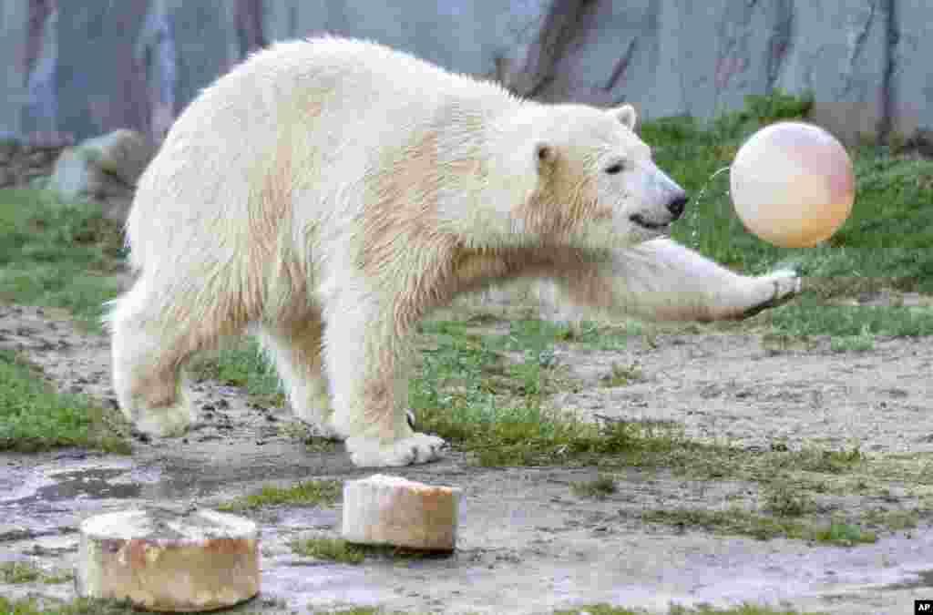 """Beruang kutub """"Nanook"""" bermain dengan bola saat merayakan ulang tahun pertamanya di kebun binatang Gelsenkirchen, Jerman."""